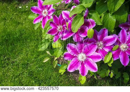 Flowers Of Perennial Clematis Vines In The Garden. Beautiful Clematis Flowers Near The House. Clemat