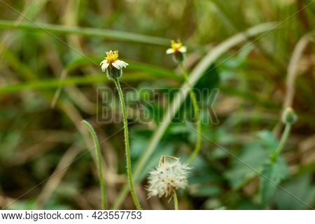 Tiny Flowers Petals Called Coatbuttons Or Hairy Galinsoga's Or Dumb-nettle Or Beggar-ticks Lack Of S