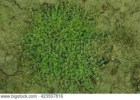 Yellow Wall Bedstraw Or Galium Murale Is A Species Of Wild Flowering Plant Growing On The Ground