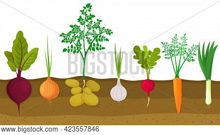 Different Root Vegetables Growing On Vegetable Patch. Plants Showing Root Structure Below Ground Lev