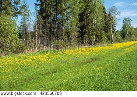 A Long Yellow Stripe Of Dandelions On A Background Of Green Grass Running Along The Forest, Russia.