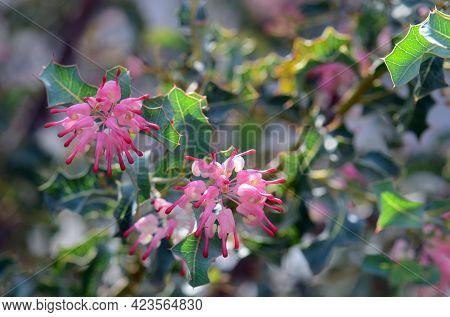 Pink Flowers And Unusual Prickly Holly Like Leaves Of The Australian Native Grevillea Insignis, Fami