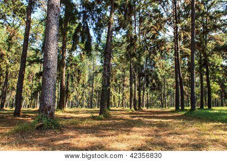 Pathway Pine Tree Pattern