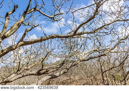 Close-up Of Bare Tree Branches, Spring Day With A Blue Sky With White Clouds In Schoorlse Duinen, No
