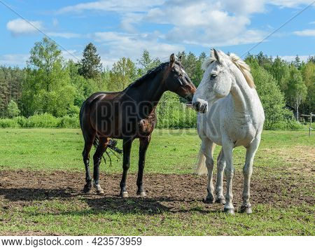 Gray And Bay Horses Stand In The Pasture With Their Heads Turned To Each Other