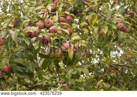 Many Red Apples On Tree In A Summer Garden