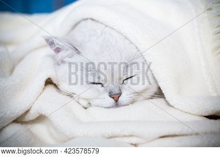 Adult Cat Breed Scottish Chinchilla With Straight Ears, Sleeps