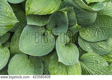 Wet Hosta Leaves. Water Drops On Hosta Leaf. Full Frame Of Hosta Green Leaves With Raindrops