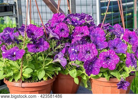 Close-up Of A Planter With Beautiful Cosmic Petunia Flowers Standing On A Counter In A Garden Store