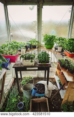 Old Wooden Country Home Greenhouse With Cultivated Plants And Seedlings Of Tomatoes, Cucumbers And V