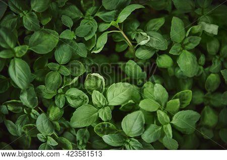 High Angle View Of Basil Leaves. Close-up, Oregano, Basil, Greens, Food And Culinary Herbs. Flat Lay