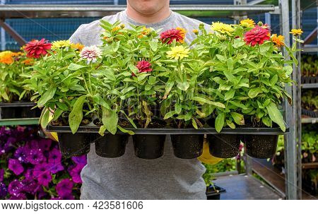 Florist Holds Cassettes With Seedlings In The Color Of Dahlias. A Gardener Carries Flowers In A Box