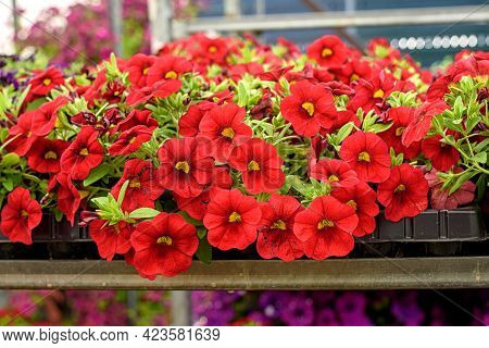 Close-up Of Seedlings With Red Kalibrahoa Flowers In The Garden Center