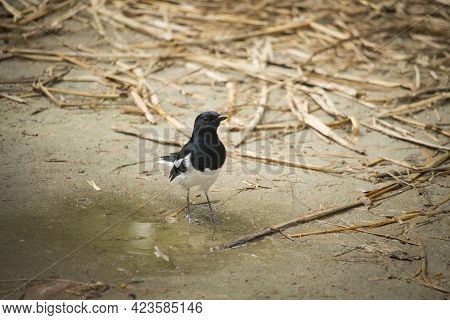 The Magpie Robin Is Standing On The Ground