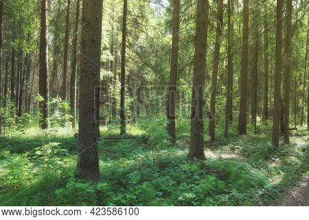 Spring Forest. Sunny Day In The Fir Forest.soft Focus.