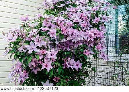 Gorgeous Bush Clematis With Large Bright Pink Flowers. Beautiful Clematis Flowers Near The House. Fr