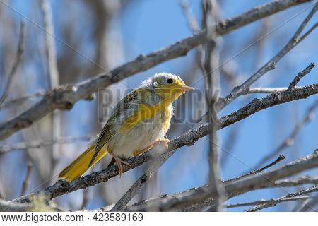Colorful Juvenile Warber Bird With Ruffled Feathers Perched Up On A Deadwood Tree Branch While Remai