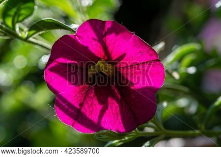 Purple Petunia With A Sunny Green Background