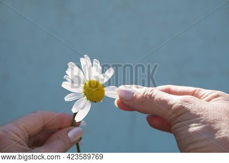 Divination On A Chamomile, A Womans Hand Tears Off A Petal Of A Chamomile, Close Up, Minimalism,