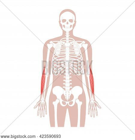 Human Brachioradialis And Muscular System. Skeleton, Hip, Ribs And Skull Bone Anatomical Poster. Han