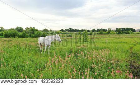 Beautiful Face Portrait Of A White Spanish Horse Stallion With Long Mane At Sunset. Horse, Horses Ne