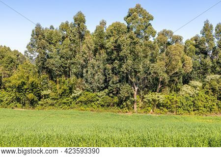 Forest And Farm Plantation, Pnhal Alto, Nova Petropolis, Rio Grande Do Sul, Brazil