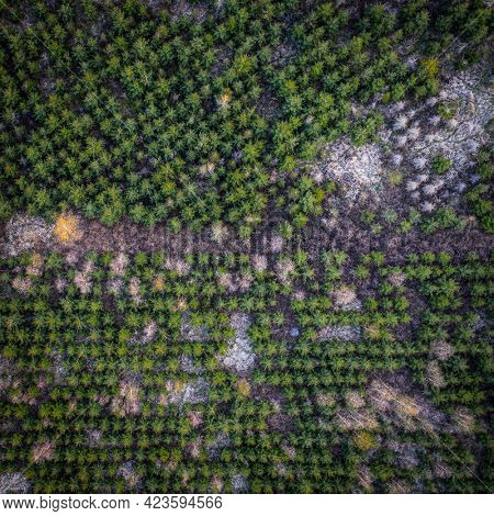 aerial view of a coniferous trees nursery plantation with some deciduous trees