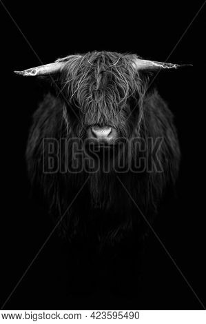 Highland calf in black and white