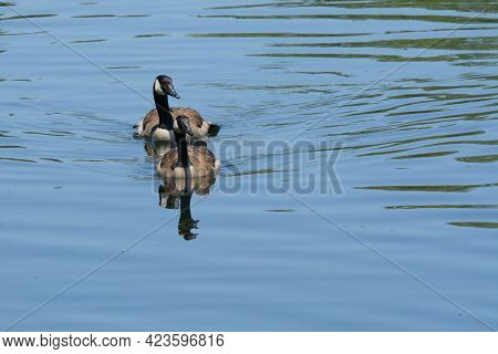 Breeding Pair Of Canada Geese Swimming In Lake In Tranquil Serene Scene