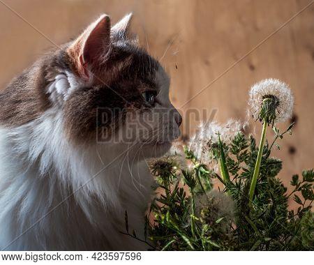 Portrait Of A Fluffy Tortoiseshell Cat Sniffing Dandelions