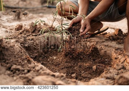 Man Plants A Small Tamarind Tree. Farm And Argiculture At Countryside Concept.