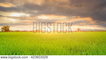 Rice Plantation. Green Rice Paddy Field. Organic Rice Farm In Asia. Rice Growing Agriculture. Green
