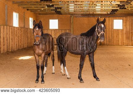 Portrait Two Young Brown Horses In A Wooden Stable, Natural Light.close-up.two Brown Native Horses I
