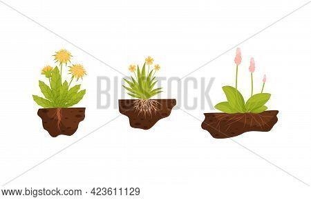 Plant Growing With Roots In Soil Vector Set