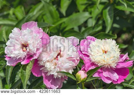 Peony Bark Stubbs - Magnificent Anemone-shaped Flowers That Look Like A Pink-crimson Saucer, Consist