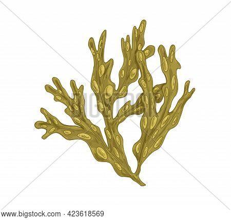 Sea Fucus Or Rockweed. Underwater Edible Seaweed With Bladders On Leaves. Undersea Vesicular Alga. B