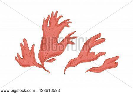 Leaves Of Red Algae Porphyra. Edible Seaweed. Natural Sea Plant. Detailed Botanical Drawing. Realist