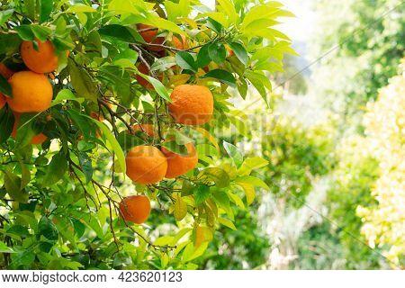 Orange Garden With Orange Friuts, Soller Mallorca