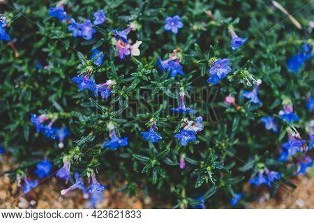 Native Australian Lithadora Plant With Blue Purple Flowers Outdoor In Sunny Backyard
