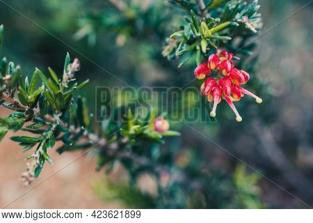Native Australian Grevillea Firecracker Plant With Red And Yellow Flowers Outdoor In Sunny Backyard