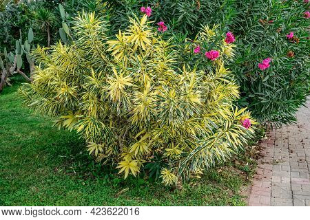 Ornamental Oleander Bush With Variegated Yellow-green Leaves In Alanya Park (turkey). Beautiful Pois