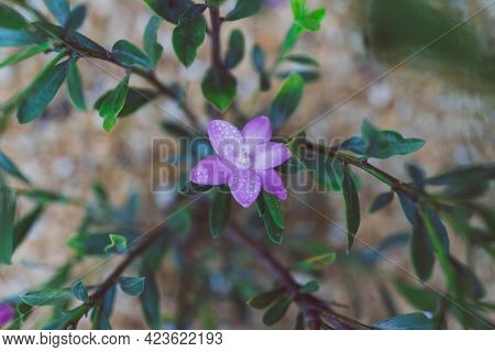 Native Australian Pink Philotheca Waxflower With Flowers In Sunny Backyard Shot At Shallow Depth Of