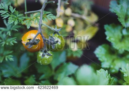 Close-up Of Cherry Tomato Plant Outdoor With Fruits On The Vine In Sunny Vegetable Garden