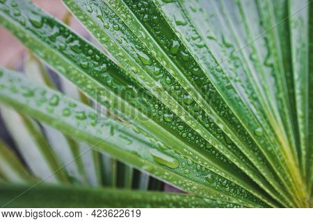 Close-up Of Green Palm Leaves With Rain Drops Shot After A Tropical Rain From A Chinese Fan Palm