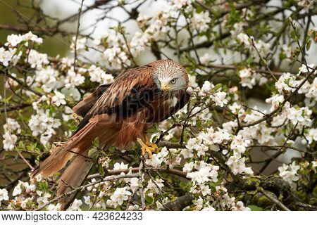 Detailed Close-up Of A Red Kite. Sits In An Apple Tree With White Blossoms. Bird Of Prey Portrait Wi