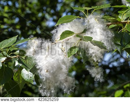 Poplar Seeds On A Branch Are Surrounded By Light Airy Fluff. Natural Background With Poplar Fluff Cl