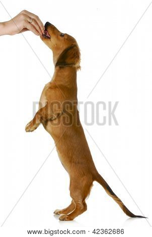 Cute dog standing on two legs begging food - isolated on white poster