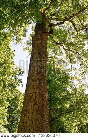 Sunlight Through Leaves In A Tall Ash