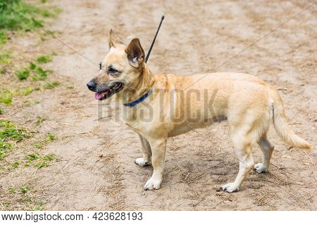 A Very Little Puppy Is Running Happily With Floppy Ears Trough A Garden With Green Grass. It Almost