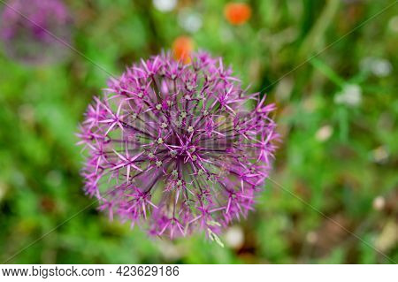 Blossoming Wild Broadleaf Chives, Allium Senescens, Growing On A Sunny Day In Organic Garden